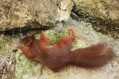 Ecureuil alpiniste Alpinist squirrel