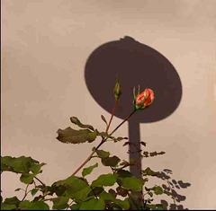 Rose im Halteverbot..