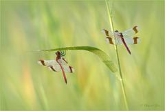 Banded Darter ~ Bandheidelibel (Sympetrum pedemontanum), male ♂...