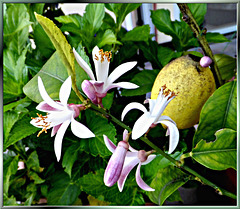 The land where the lemons bloom...  ©UdoSm