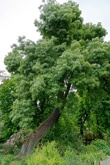 Frêne à feuilles étroites (Fraxinus angustifolia)