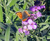 Small Copper enjoying the Bowles Mauve.