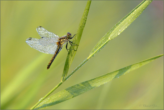 Black Darter  ~ Zwarte heidelibel (Sympetrum danae), female  ♀...