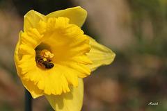 Narcisse fleur du printemps !