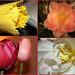tulipes pour la lutte contre le cancer