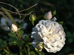 Du fragst doch auch nicht die Rose warum se, weshalb se, wieso se ...