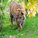 Tiger cubon the prowl.