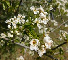 Fleurs blanches*************