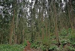 Es riecht nach Eukalyptus!  The forest smells of Eucalyptus! Please enlarge