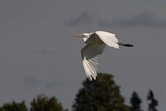 Silberreiher-fliegend
