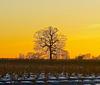 Lone tree, Stafford