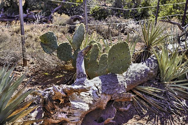 Prickles – Courthouse Butte Trail, Sedona, Arizona