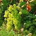 Saftige Silvaner-Trauben - Juicy Silvaner grapes