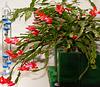 Cactus pasquale : a casa mia è arrivata puntuale la primavera ! - (839)