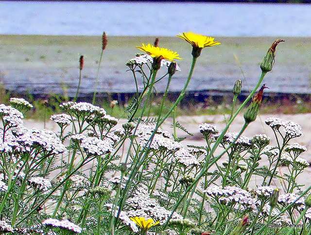 Yarrow and Hawksbeard.