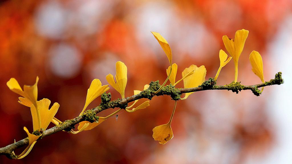 Ginkgo biloba - arbre aux quarante écus - Page 6 49414572.b817809b.1024