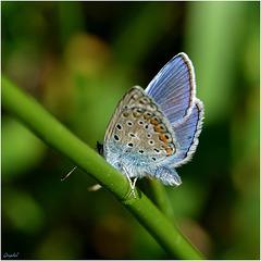Petit bleu bien timide !!! ...