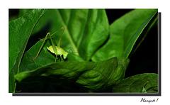 La petite sauterelle verte ...
