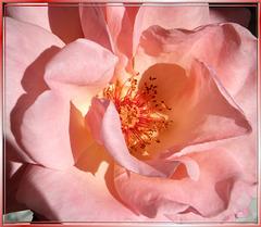 Gloria Dei: Queen of the flowers... ©UdoSm