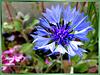 Kornblumen-Blau... ©UdoSm