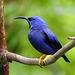 Purple Honeycreeper / Cyanerpes caeruleus, Asa Wright Nature Centre, Trinidad