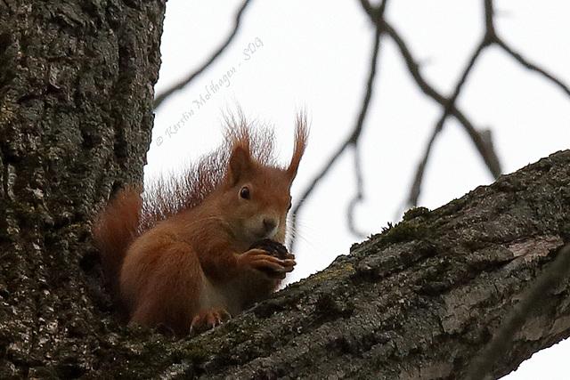 Eichhörnchen im Rosensteinpark