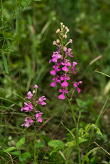 Platanthera peramoena (Purple Fringeless orchid)