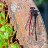 Pyrrhosoma nymphula.  Large Red Damselfly
