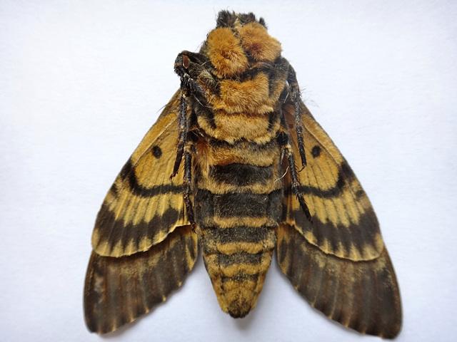 Skeletkapa papilio (malantaŭa flanko)