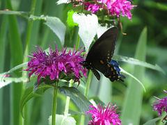 Black swallowtail on monarda