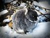Karnickel im Schnee