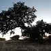 Azinheira, Quercus ilex, Martim Longo