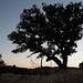 Azinheira, Quercus ilex, Martim Longo, HFF