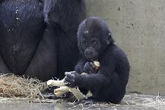 Gorillababy Masani (Wilhelma)