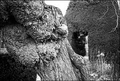 Walnut trunk, Walled Garden, Brockwell Park.