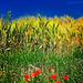 Faenza (Ra). Colori primari e colori secondari in un campo di grano.  -  Primary colors and secondary colors in wheat field.