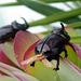 Oryctes nasicornis, Dynastinae