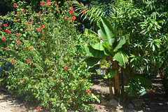Dominican Republic, Red Flowers on the Farm