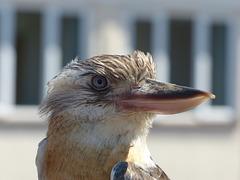 Blue-winged Kookaburra (3) - 3 June 2017