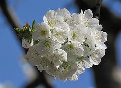 Floro de merizarbo