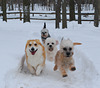 Corgis and Dandies Running in the snow