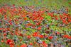 Blumenwiese - Farbenexplosion
