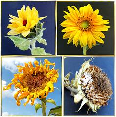 Ein Sonnenblumenleben. ©UdoSm