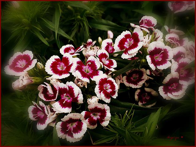 Œillet du poète ...Dianthus barbatus !.........HFF//