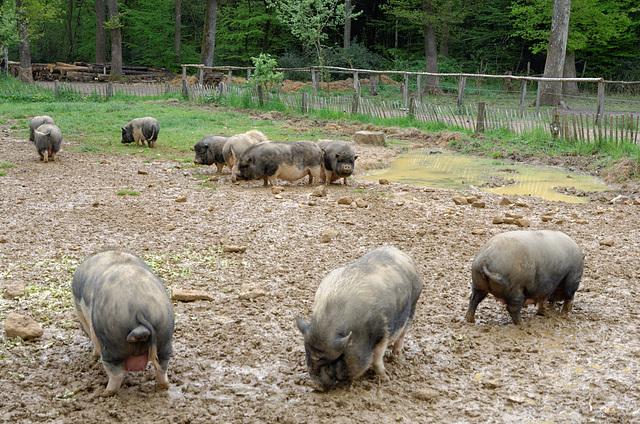 Les cochons ont la réputation d'être sales. Il faut dire qu'on ne fait rien pour les aider...