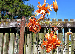 Tiger lilies .