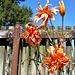 Tiger lilies .