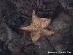 62 Oreaster reticulatus (Cushion Sea Star)