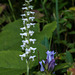 Spiranthes cernua (Nodding Ladies'-tresses orchid) with Gentiana decora (Showy Gentian)