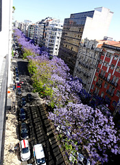 The lilac flowers of the jacarandá appear to announce the summer
